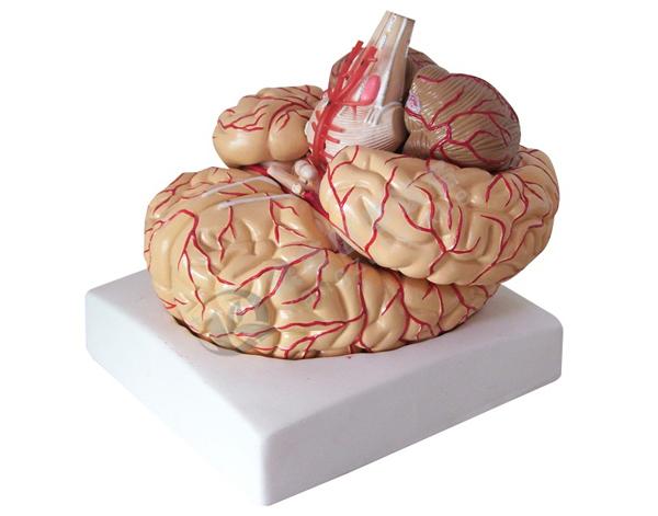 脑动脉模型(9部件)