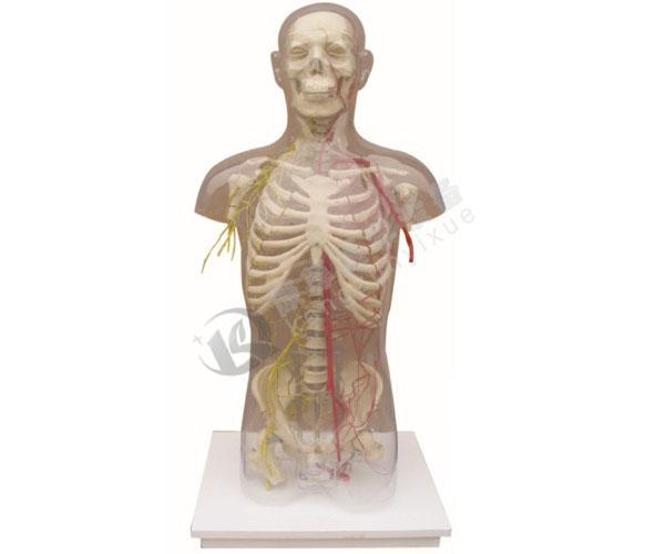 透明半身躯干附血管神经模型