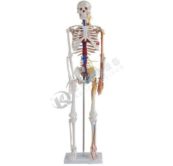 全身骨骼85cm附血管神经模型