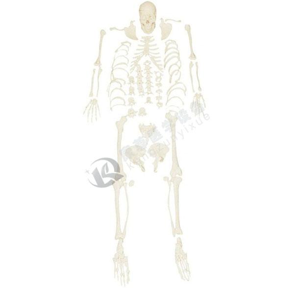 人体骨骼散骨模型(游离骨)