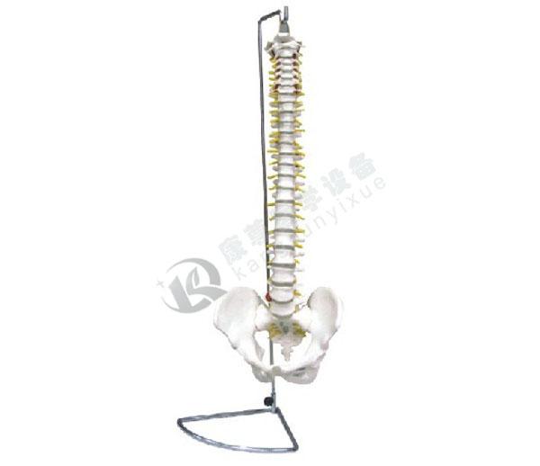 脊椎带骨盆模型(不可弯曲)