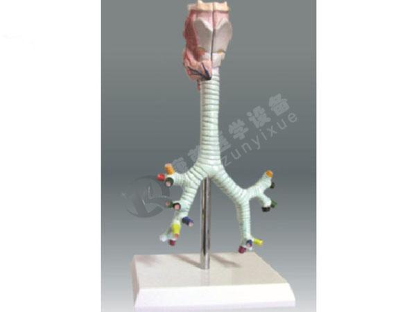 喉与气管、支气管模型