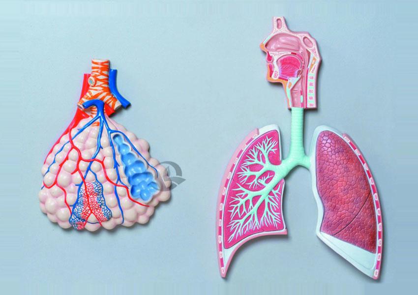 呼吸系统浮雕模型