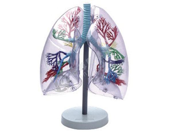 透明肺段模型