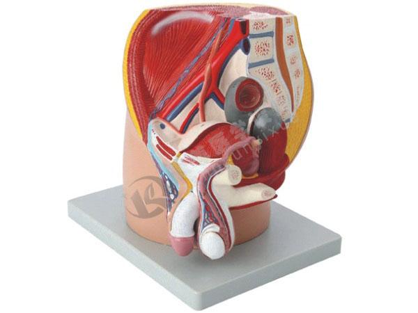 男性盆腔正中失状切面模型(4部件)