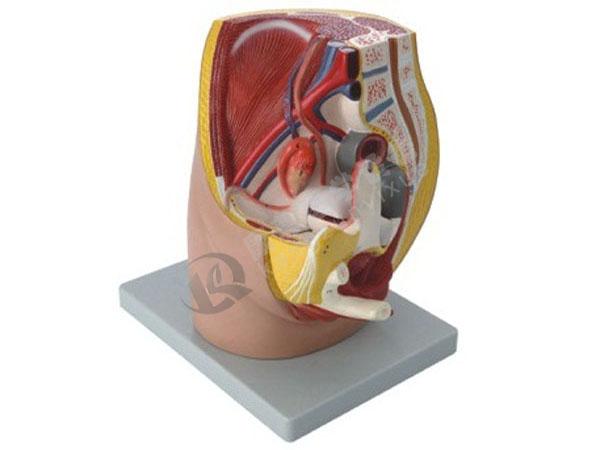 女性盆腔正中失状切面模型(3部件)