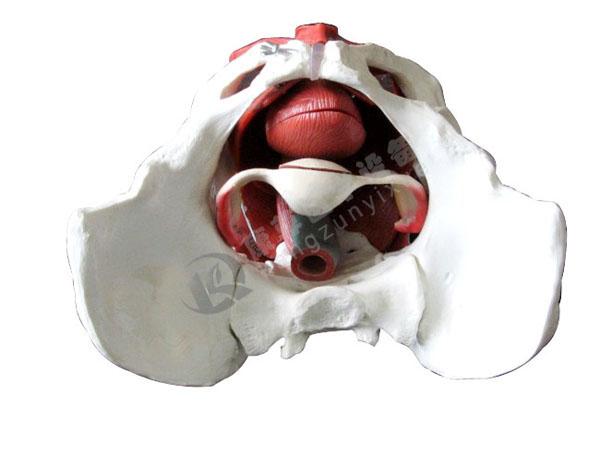 女性骨盆有盆底肌肉模型