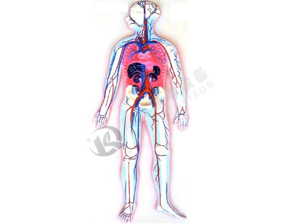 血液循环模型(浮雕)