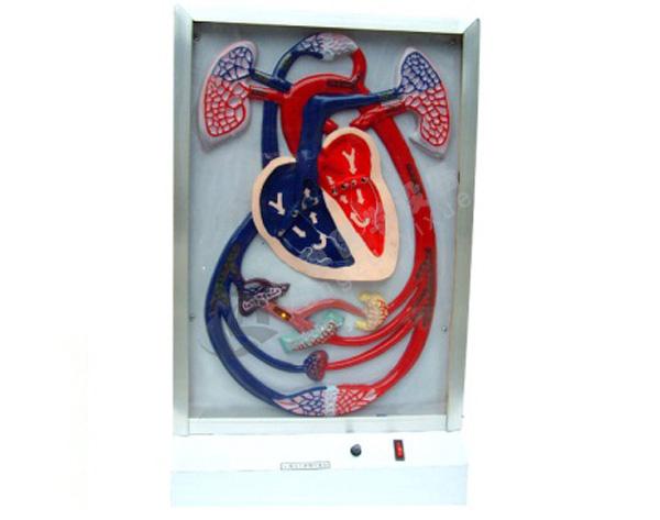 电动心脏博动与血液循环模型