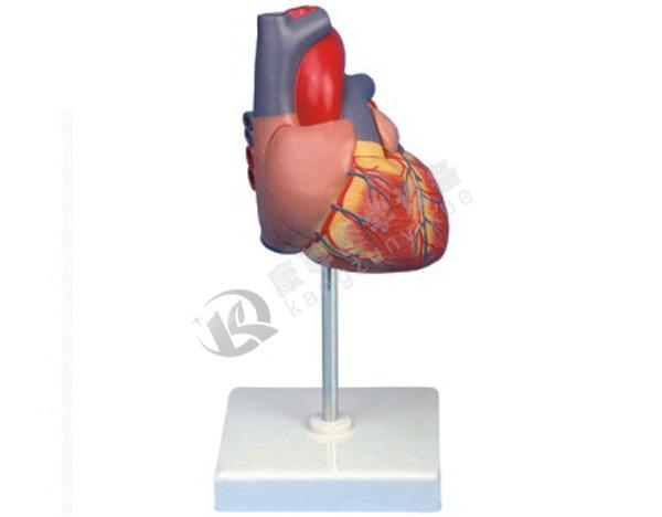 成人心脏解剖放大模型