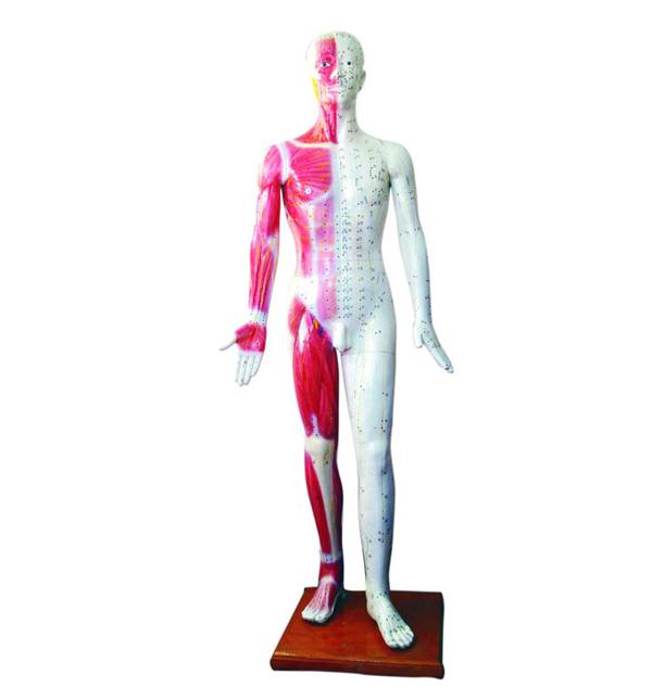 人体针灸模型 178CM(带肌肉解剖)