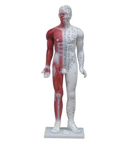 人体针灸模型 84CM(带肌肉解剖)
